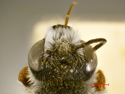 Megachile geniorum MISSING
