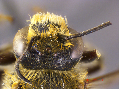 Megachile strymania MISSING