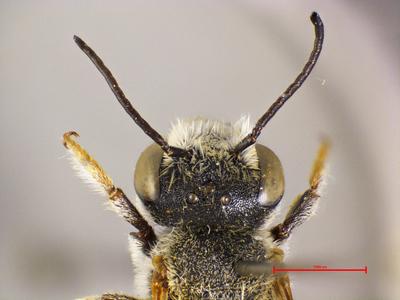 Megachile mavromoustakisi Van der Zanden