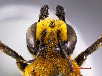 Megachile cressoniella rufothoracia