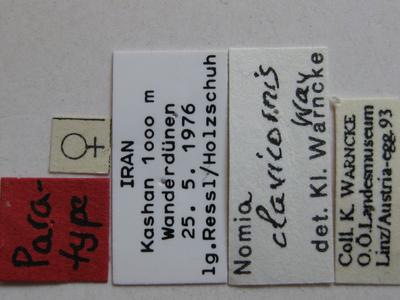 Nomia clavicornis Warncke