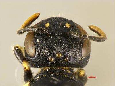 Prosopis annularis elbursa