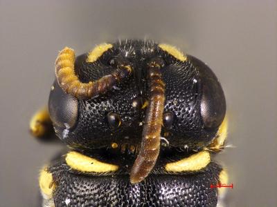 Prosopis araxana Warncke, 1981