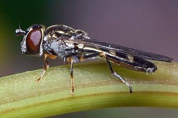 muha trepetavka (<i>Platycheirus clypeatus</i>)