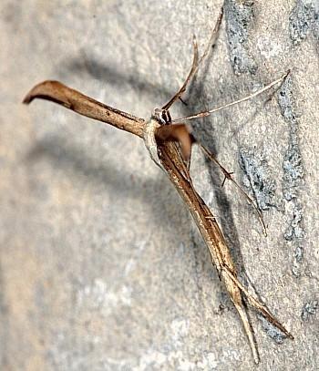 peresničar (<i>Emmelina monodactyla</i>)