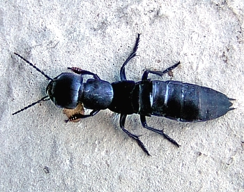 kratkokrilec (<i>Ocypus tenebricosus</i>)