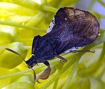 cvetna grabežljivka (<i>Phymata crassipes</i>)