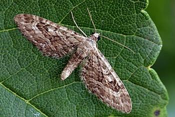 pedic (<i>Eupithecia nanata</i>)