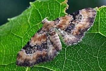 pedic (<i>Eupithecia pulchellata</i>)