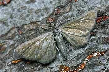 pedic (<i>Eupithecia pygmaeata</i>)