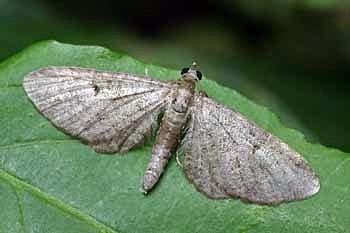 pedic (<i>Eupithecia subfuscata</i>)