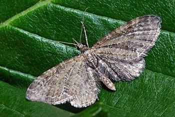 pedic (<i>Eupithecia vulgata</i>)