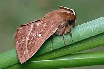 deteljna kokljica (<i>Lasiocampa trifolii</i>)