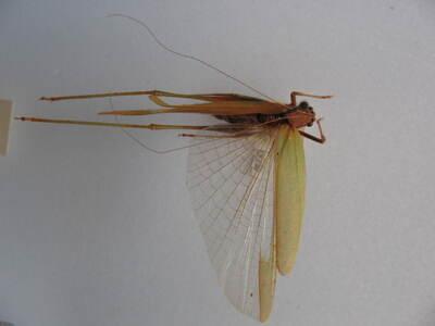 Phaneroptera (Phaneroptera) nana Fieber, 1853