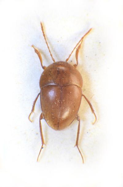Stygiophyes akarsticus (Escolà, 1980)