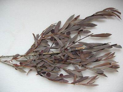 Pontania (Eupontania) viminalis (Linnaeus, 1758)