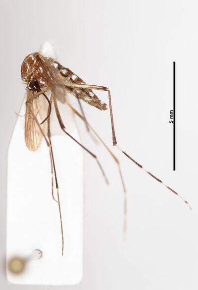 Aedes (Stegomyia) aegypti (Linnaeus, 1762)