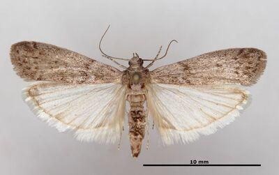 Ephestia (Anagasta) kuehniella (Zeller, 1879)