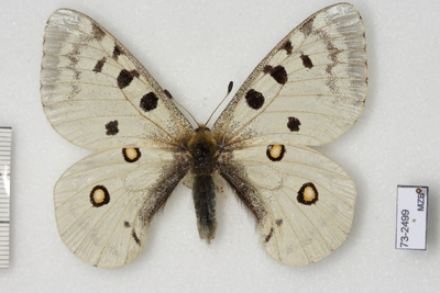 Parnassius (Parnassius) apollo nevadensis Oberthür, 1891