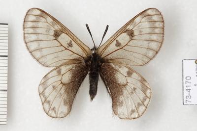 Parnassius (Koramius) delphius (Eversmann, 1843)