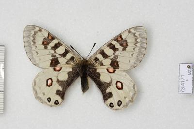 Parnassius (Driopa) orleans Oberthür, 1890