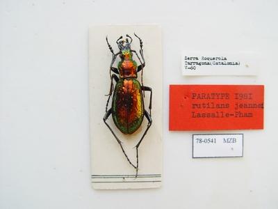 Carabus (Chrysocarabus) rutilans rutilans Dejean, 1826