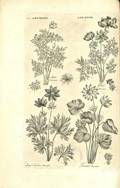 Finger'd garden anemone