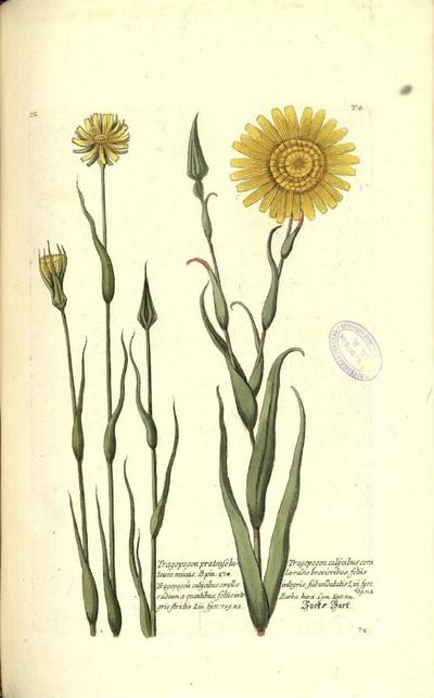 Tragopogon calycibus corolla radio breavioribus foliis integris subundutatis