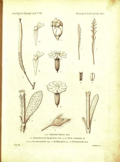 Sil. deserticola Murb.