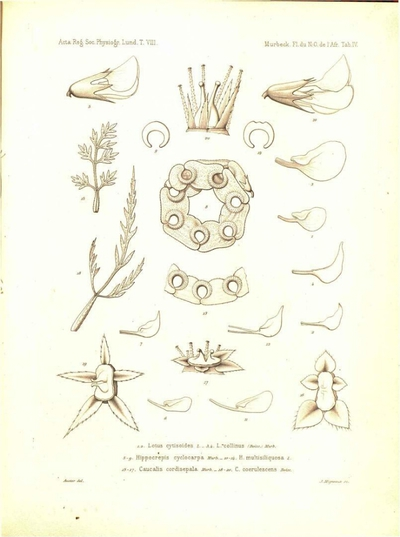 C. coerulescens Boiss