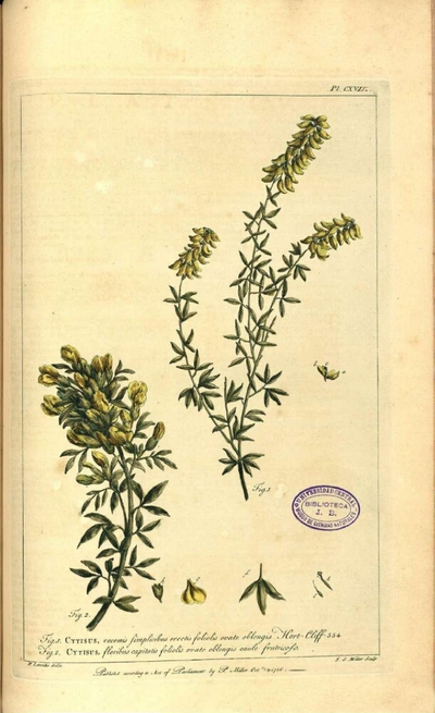 Cytisusfloribus capitatis foliolis ovato oblongis caule frutricoso