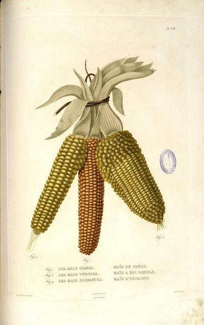 Maïs d'Espagne
