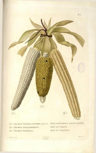 Maïs de Virginie