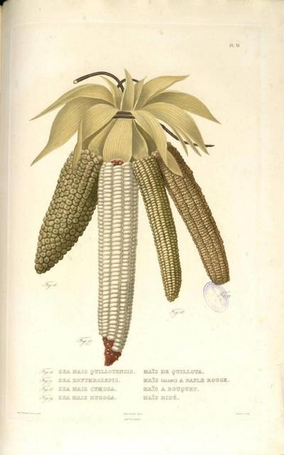 Maïs ridé