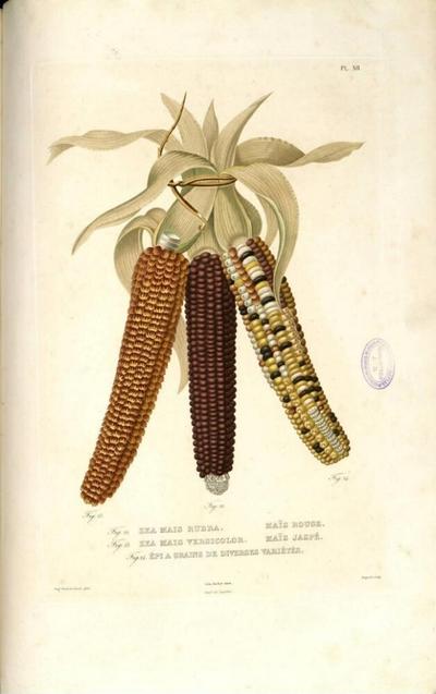 Épi a grains de diverses variétés