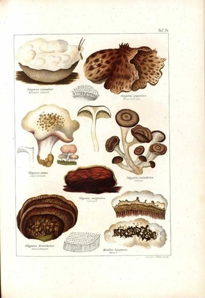 Polyporus fomentarius