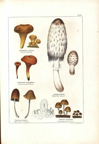 Coprinus truncorum