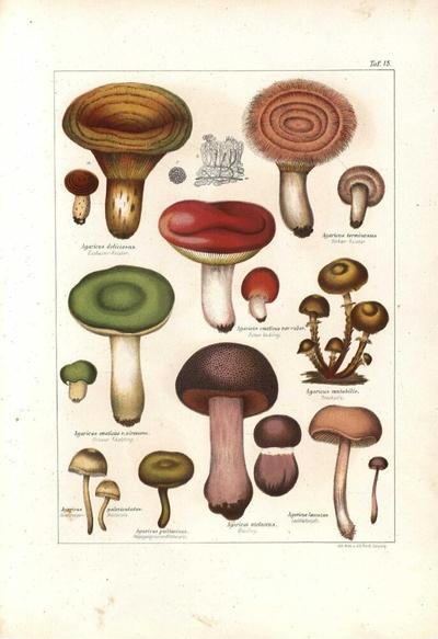 Agaricus psittacinus
