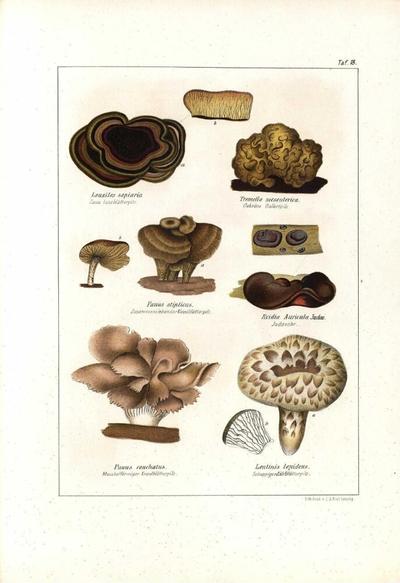 Lentinis lepideus