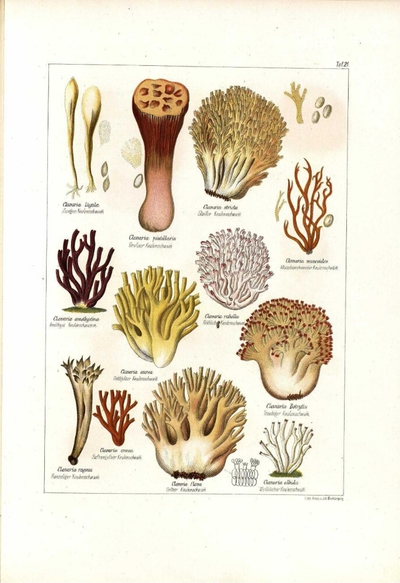 Clavaria botrytis