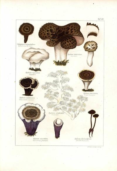 Hydnum suaveolens