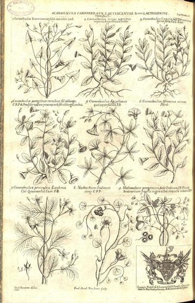 Halicacabum peregrinum & cor indicum I.B. Pisum besicarium fructu nigro alba macula notato C.B.P.
