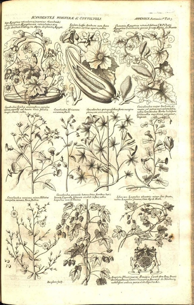 Idem setu Lupulus silvestris minor sive fructu nobis. Lupulus femina, Cam. Ep. & Hort.