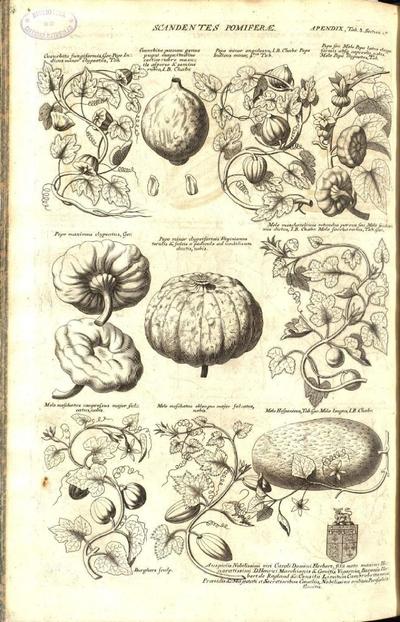 Melo hispanicus, Tab.Ger. Melo longus, I.B. Chabr.