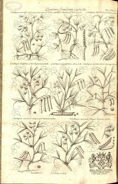 Lathyrus arvensis siliquis hirsutis, nobis