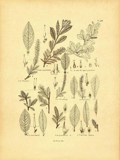Salix maritima latifolia