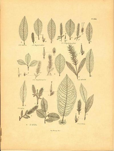 Salix felina
