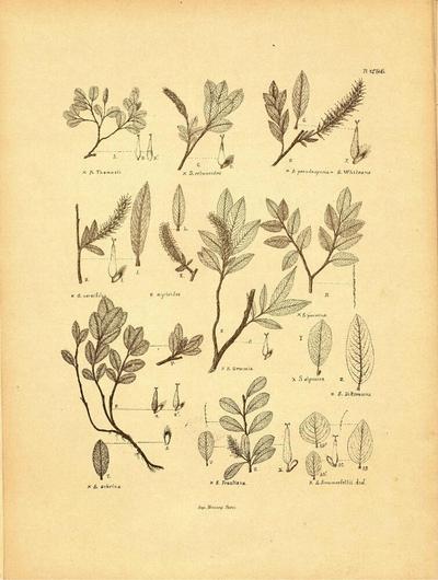 Salix sommerfettii
