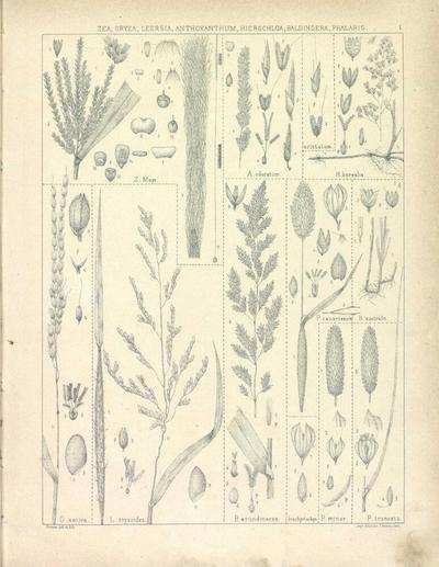 Phalaris truncata