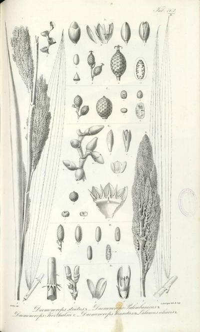 Calamus ciliaris